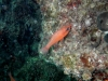 Il re delle triglie: Apogon imberbis