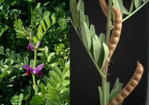 Vicia sativa.Bis