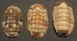 1. Chiton olivaceus