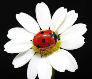 Coccinella su fiore bianco