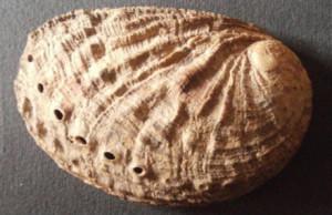 5. Haliotis lamellosa