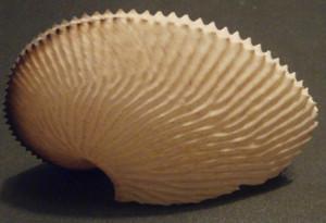 9. Argonauta argo