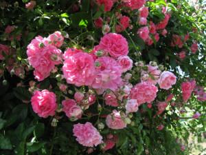 rosedisantarita