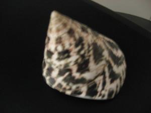 3. Tectus pyramis born