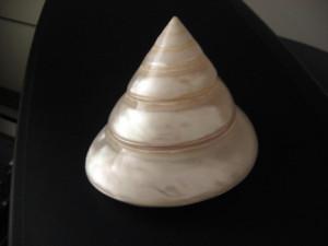 4. Tectus pyramis born