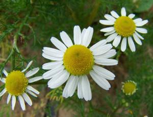 Camomilla flower