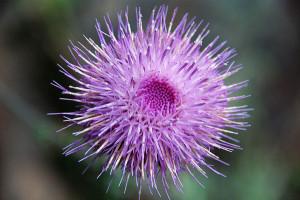 Carduus pycnicephalus. Fiore. Foto da Flickr
