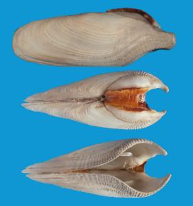 Fig 12 Pholas dactylus Ancona