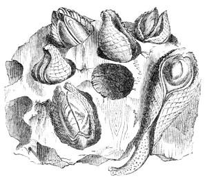 Fig 13 Pholas dactylus. Figura schematica