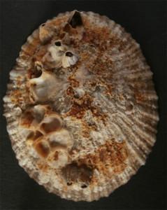 Fig 2 Patella nigra esterno