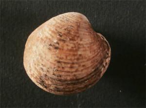 Fig 3 Globivenus effossa