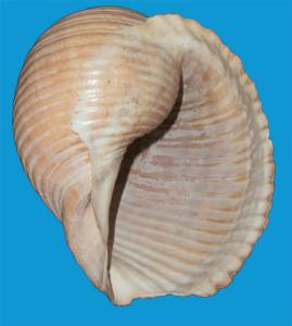Fig 3 Tomma galea bocca