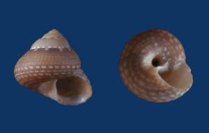 Fig 4 Gibbula nivosa Malta