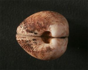 Fig 4 Globivenus effossa