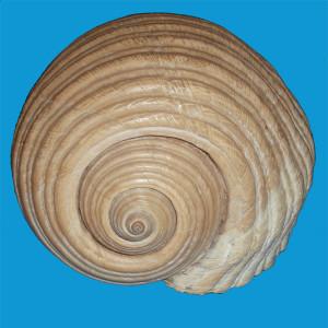 Fig 5 Tomma galea protoconca