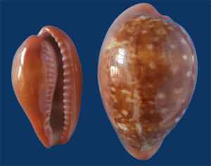 Fig 6 Zonaria pyrum Canale di Sicila
