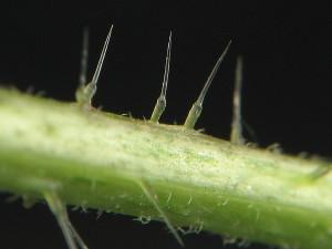 Ingrandimento dei peli urticanti dell'ortica