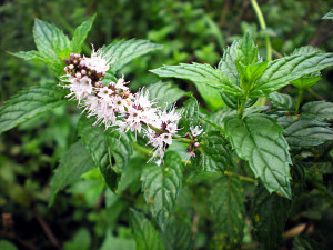 Mentha spicata. Part. infiorescenza