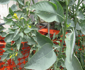 Nicotiana.Particolare foglie