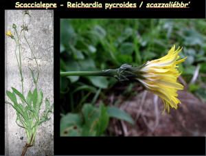 Reichardia pycroides. Dalle diaps