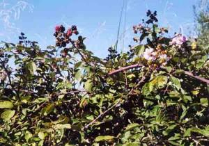 Rubus ulmifolius. Rovo o rustine