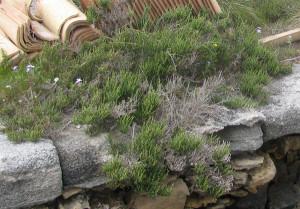 Salicornia Mozia. Part.
