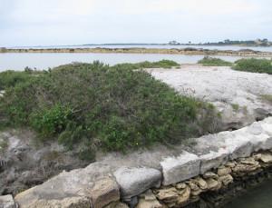 Salicornia. Mozia