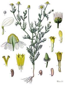 Tavola botanica della camomilla
