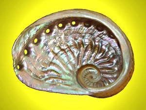 haliotis lamellosa
