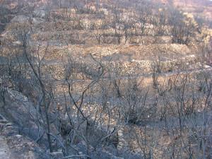 7. Antiche parracine evidenziate dall'incendio