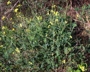 Brassica fruticulosa subsp. fruticulosa