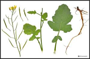 Brassica fruticulosa. Preparazione da Erbario