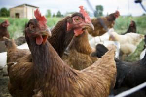 Ladri di polli