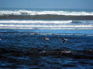Mare oceano a Chiloè. Due ostrichieri in volo