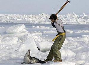 Massacro delle foche. Foto 2011