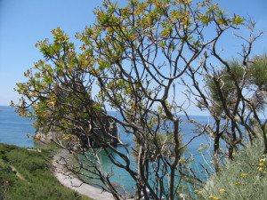 Palmarola. Euphorbia dendrodes e Elichrysum