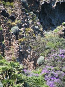 Palmarola. Palma nana Apr.2011