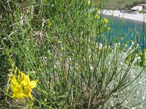 Spartium junceum sullo scoglio di S. Silverio a Palmarola