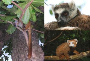 Lemuri.tris copia