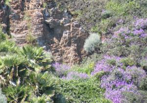Palma nana Palmarola Primavera