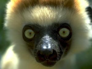 lemure. Occhi