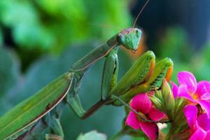Praying Mantis on Pink Flowers