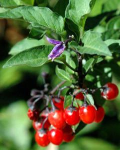 1. Solanum dulcamara
