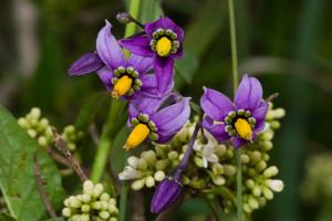 3. Solanum dulcamara.Fiori