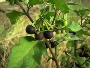 5. Solanum nigrum. Frutti