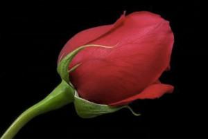 La rosa del commiato