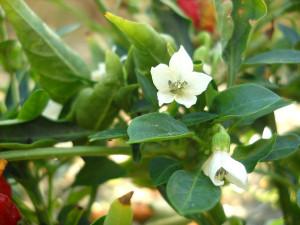 Peperoncino fiore