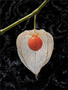 Physalis alchechengi. Capsula e frutto