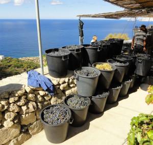 3. La raccolta dell'uva nera