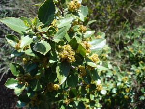 Alaterno. Fam. Rhamnaceae